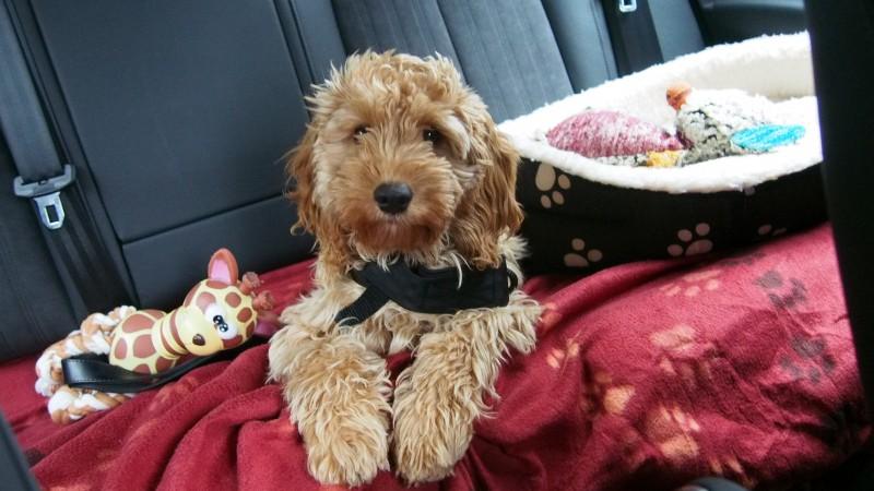 Hund auf der Rückbank mit Brustgeschirr